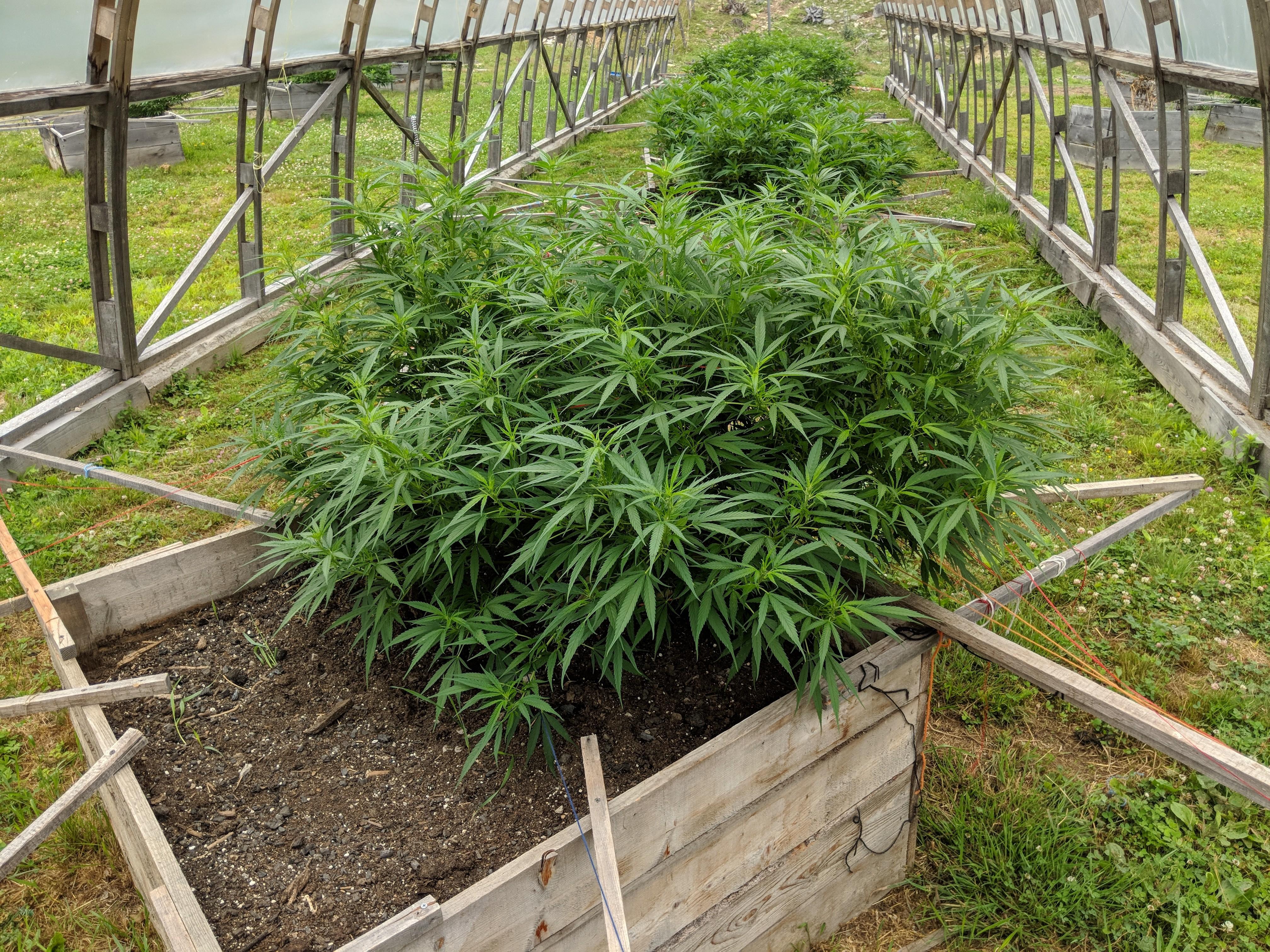 Maine Organic Cannabis - Craft Maine Marijuana & Cannabis Strains at Zero Gravity Cannabis